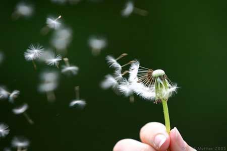dandelion_seeds.jpg